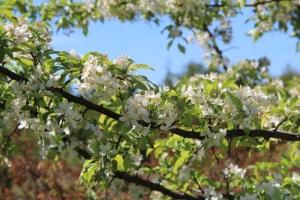 whitetreeflowers
