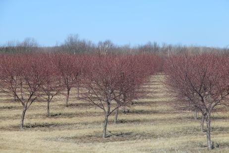cherrytreeswinter2