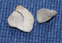 horncoral