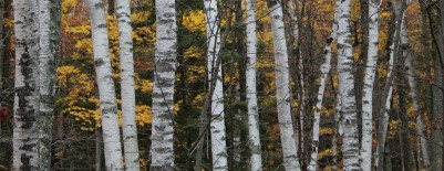 cropped-fallbirches.jpg