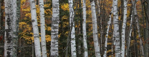 cropped-fallbirches.jpg
