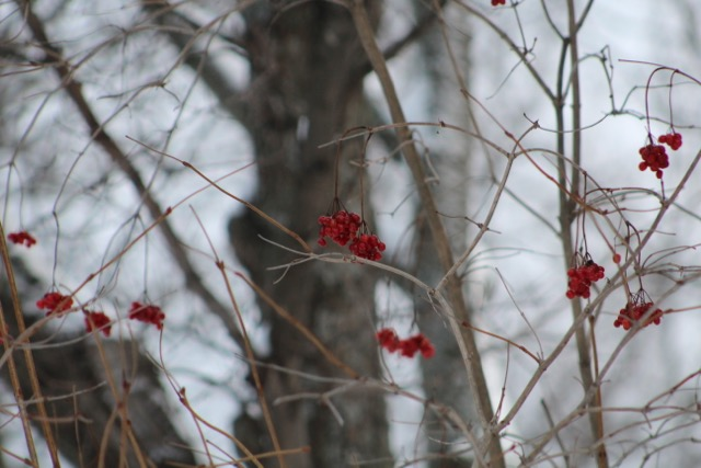 redberries-1
